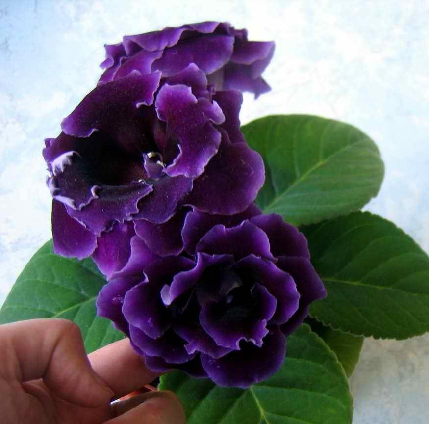 социальной сети глоксиния махровая фиолетовая сорта количество баллов информатике